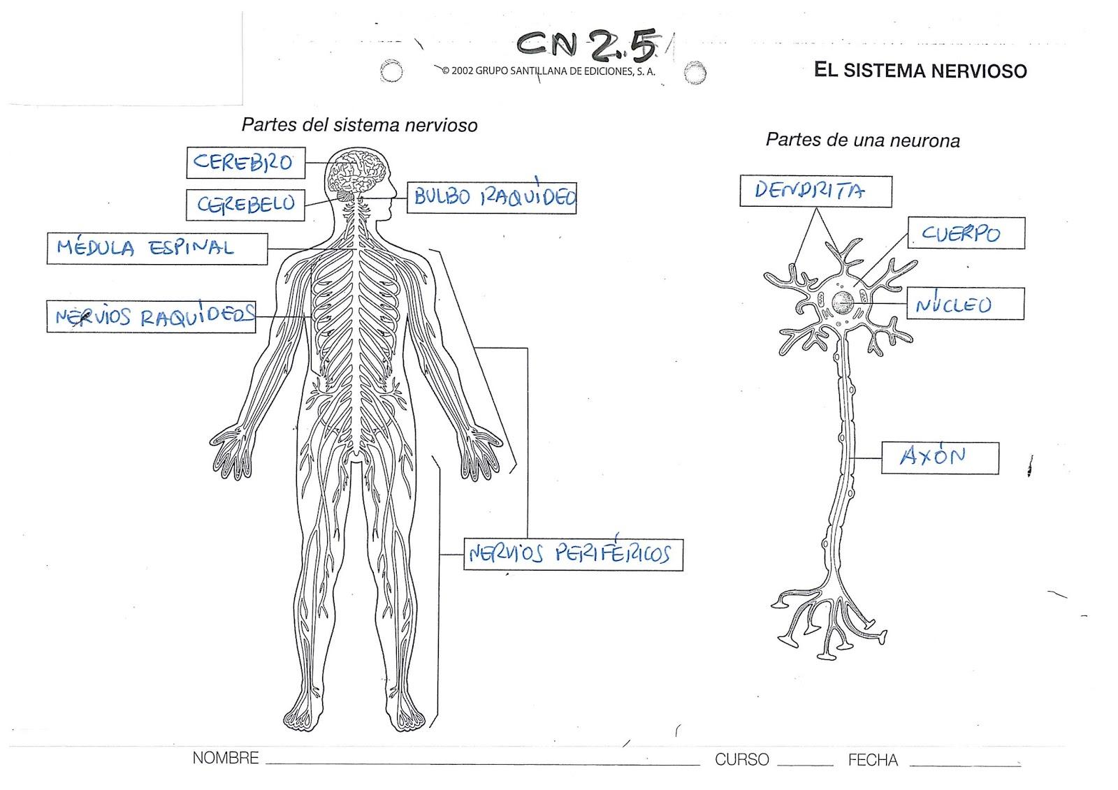 u00danico p u00e1gina para colorear de sistema nervioso bosquejo