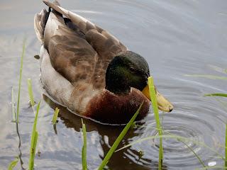 石神井公園の鴨