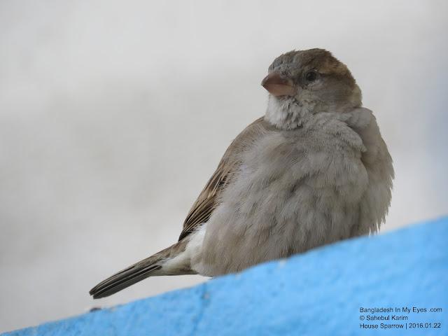 House Sparrow Female