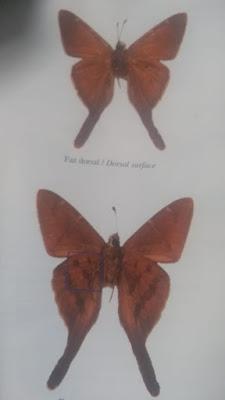 Mariposa coluda golondrina (Urbanus procne)
