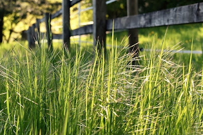rumput liar