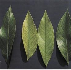 Gambar Defisiensi besi pada daun jeruk