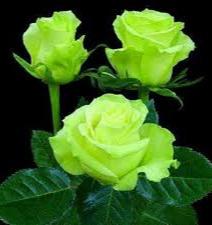 Gambar bunga mawar hijau langka