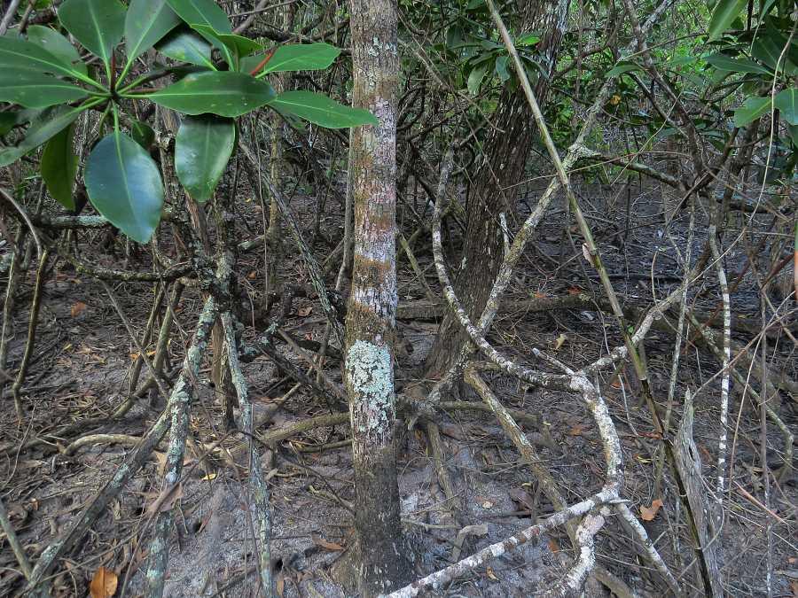 Mimusops elengi, Acacia oraria