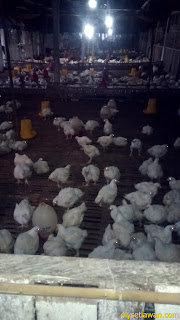 ayam broiler mulai besar