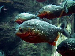 Ikan Predator Piranha Ikan Hias Air Tawar yang Bisa Dicampur