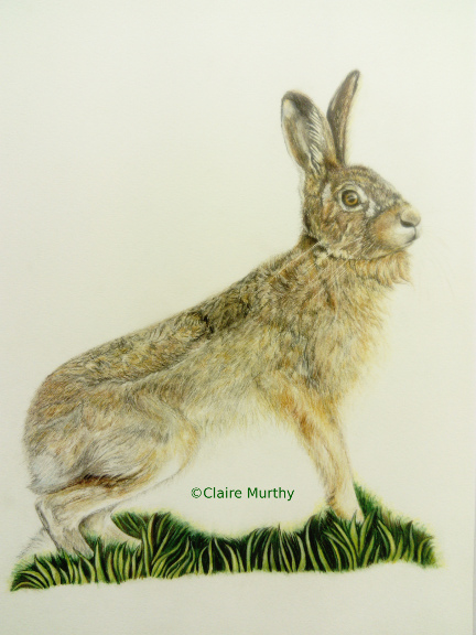 Drawing of a brown hare - wildlife art workshops - drawing fur.