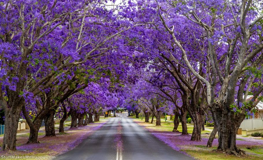 Flowering trees Jacaranda, Johannesburg, Republic of South Africa. (Photo by John)