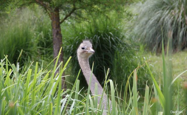 Nandou de Darwin, parc des oiseaux de Villars-les-Dombes