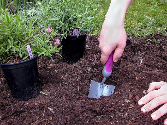 Planting Lavender - step by step