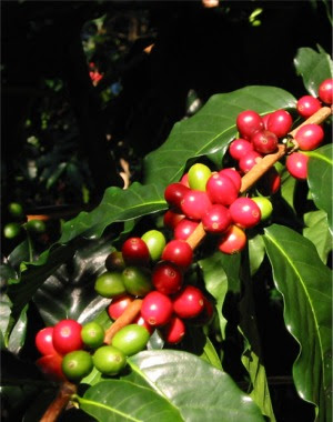 Image Result For Kona Coffee Grades