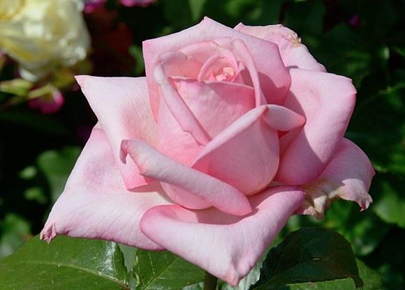 Wedding Bells сорт розы фото купить саженцы питомник Минск