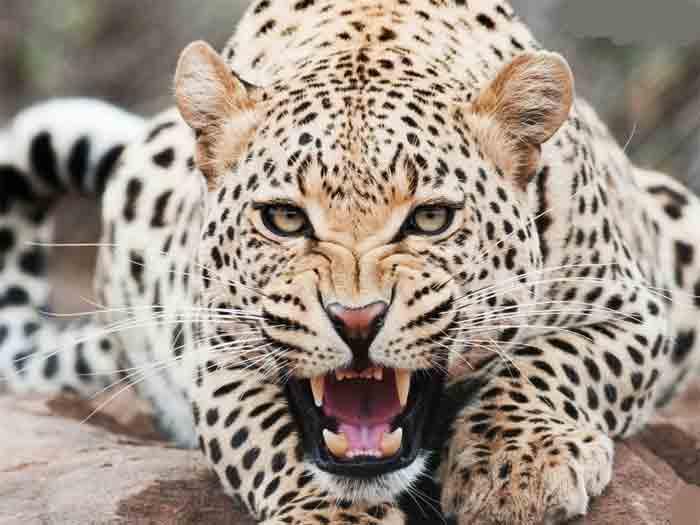 News, Boy, Escaped, National, Karnataka, India, Boy escaped, Leopard, Mysore,