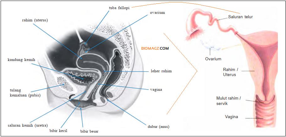 Gambar Bagian-Bagian Organ Reproduksi Wanita - biomagz.com