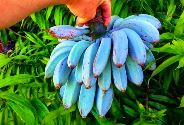 Tasty Blue Java Banana Feels Like Eating A Delicious Vanilla Ice