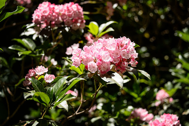 Mountain Laurel at Biltmore Gardens
