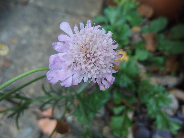 Pink scabious flower now faded to pale lilac