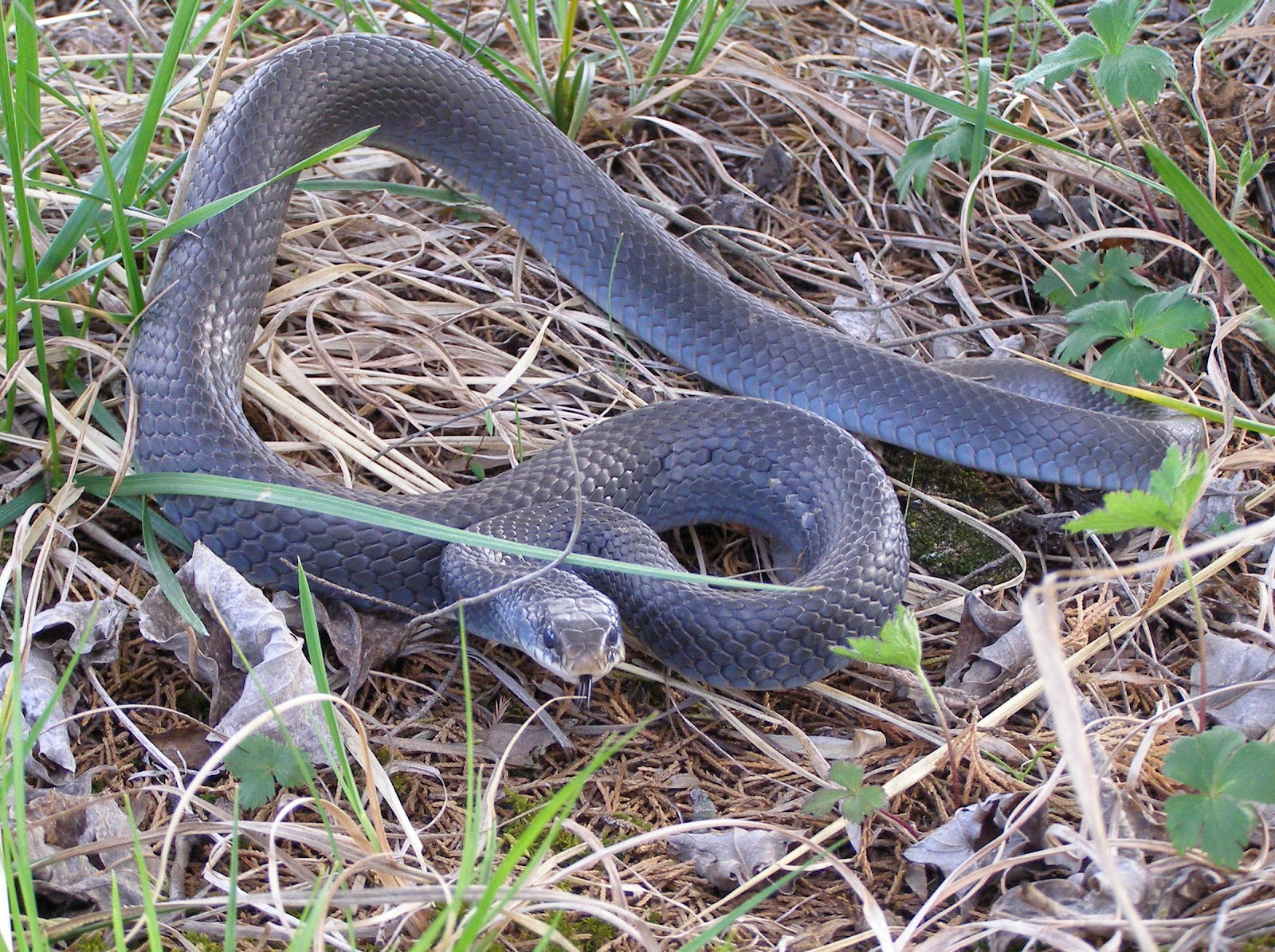 What does a black racer snake look like 10