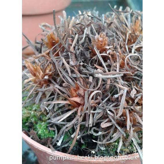 Carnivorous Plants Sundew Drosera capensis alba
