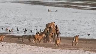 فيديو .. نهاية غير متوقعة لصراع بين فيل و14 أسدا 3