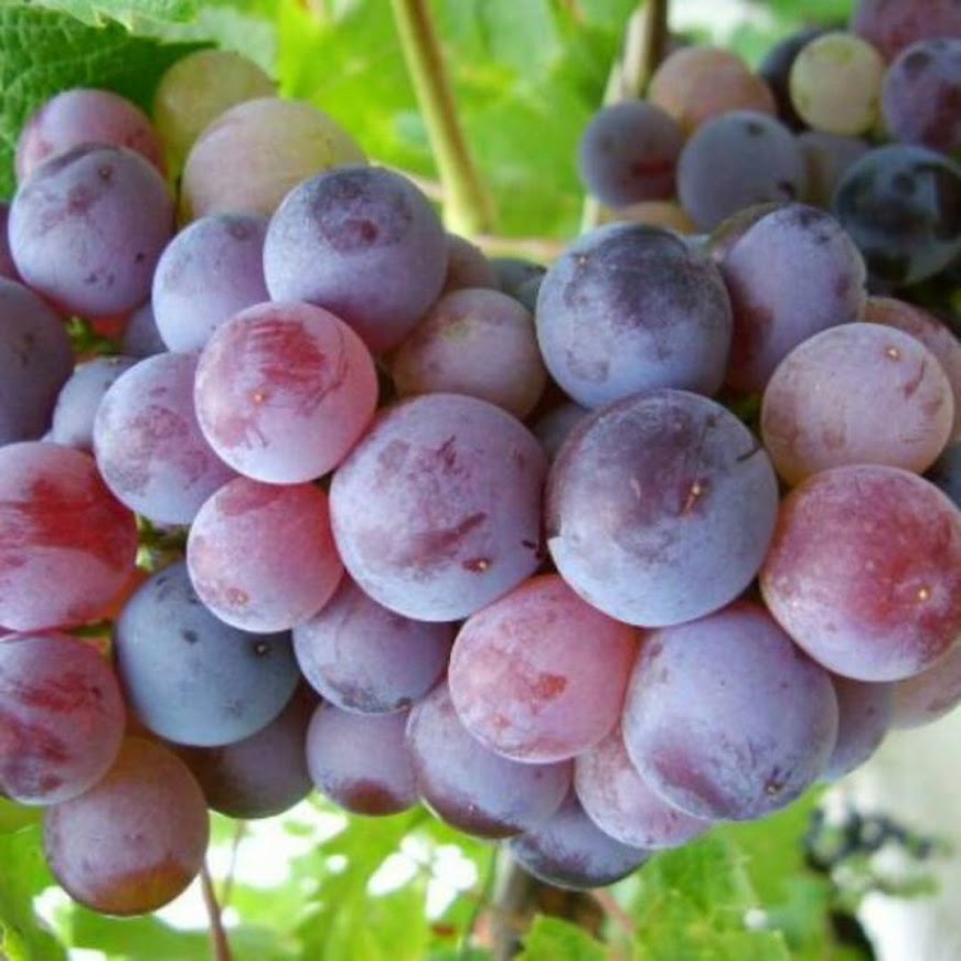 Bibit anggur issabel Tidore Kepulauan