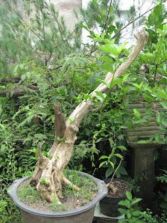 Ciri Ciri Pohon Wahong
