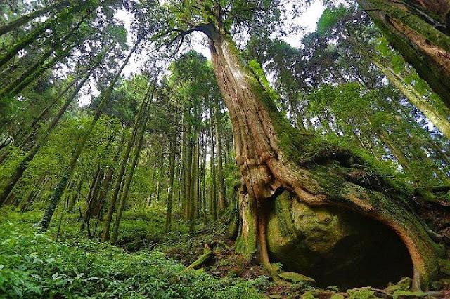阿里山二萬平「樹抱石」