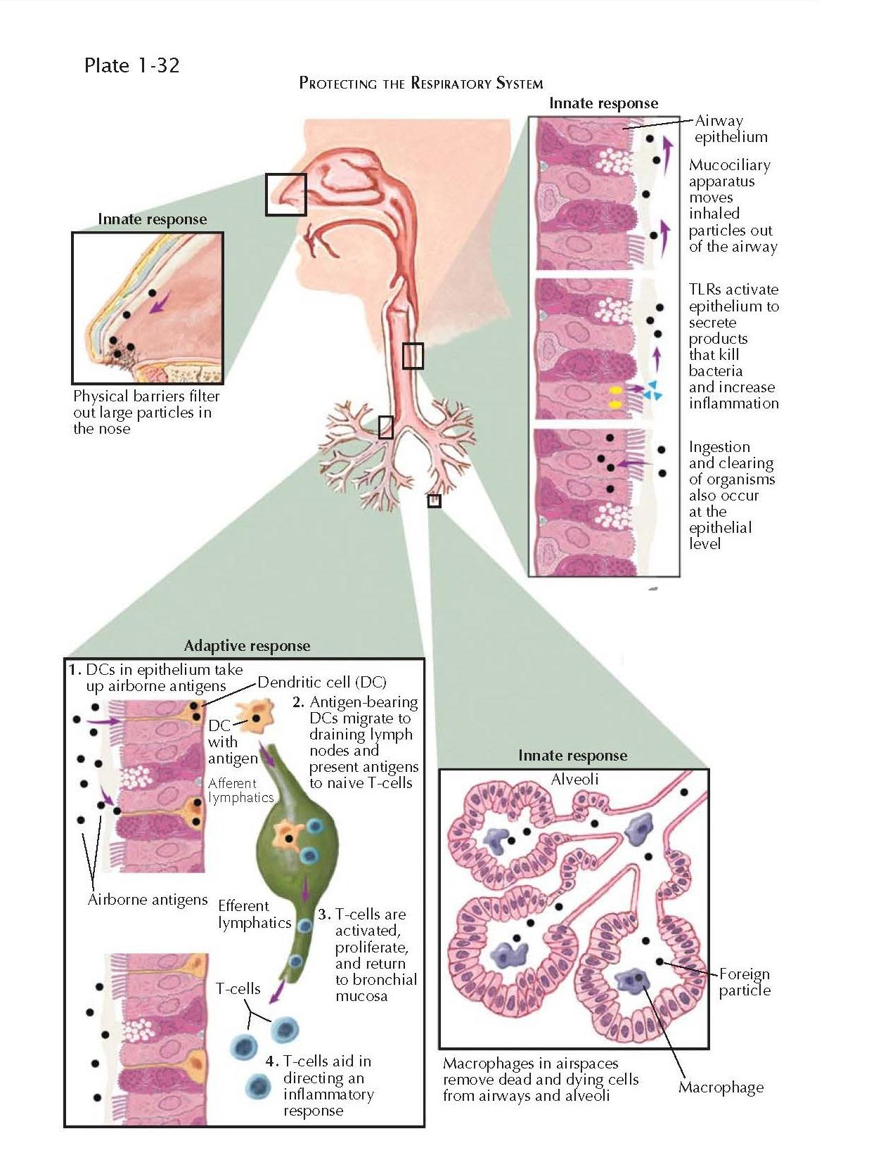 PULMONARY IMMUNOLOGY: LYMPHOCYTES, MAST CELLS, EOSINOPHILS, AND NEUTROPHILS