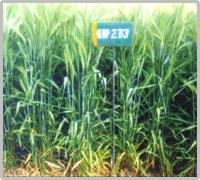 wheat variety gw 273