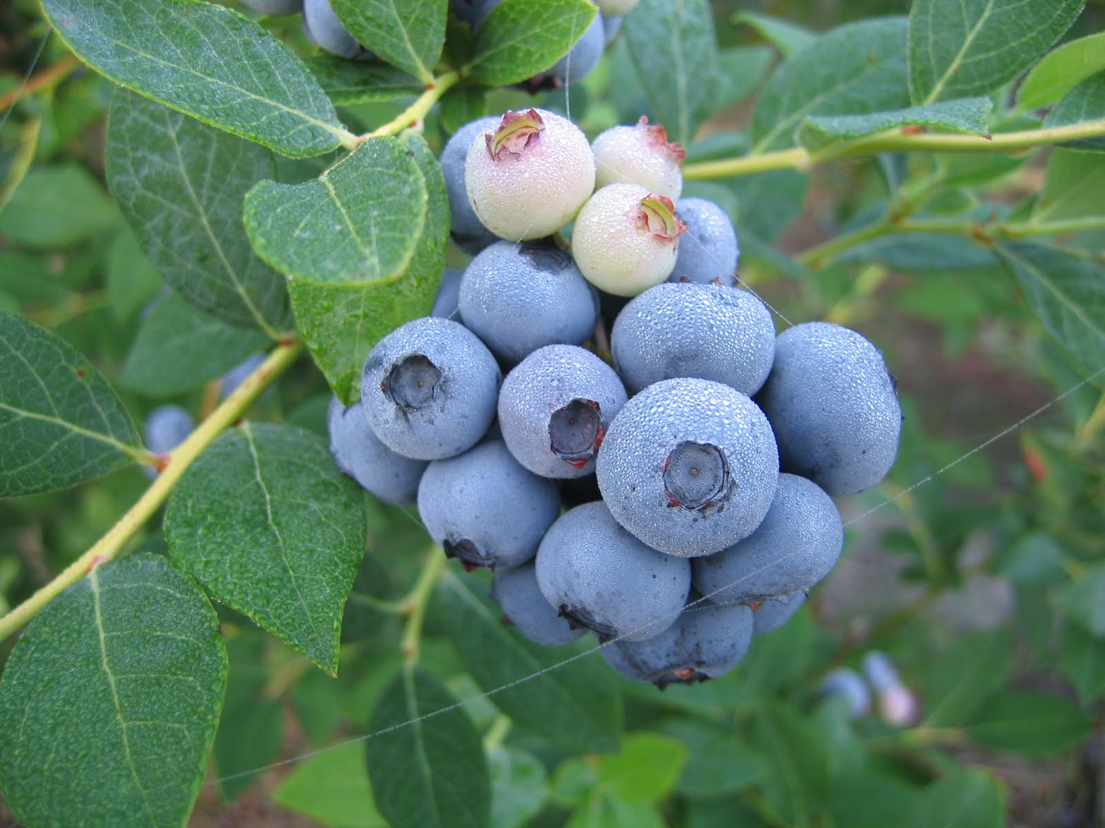 The Nc Blueberry Journal Blueberry Cultivar Legacy