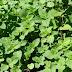Πώς φυτεύω καλλιεργώ αρωματικά φυτά στον κήπο και σε γλάστρες