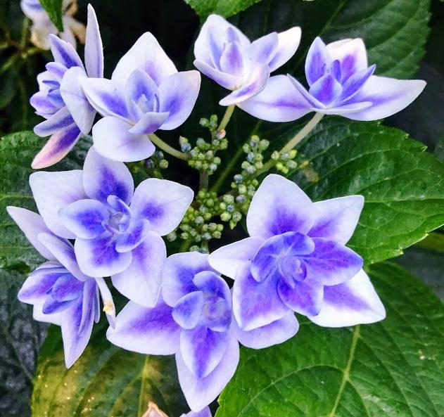Shoreline Area News In The Garden Now A Handful Of Hydrangeas
