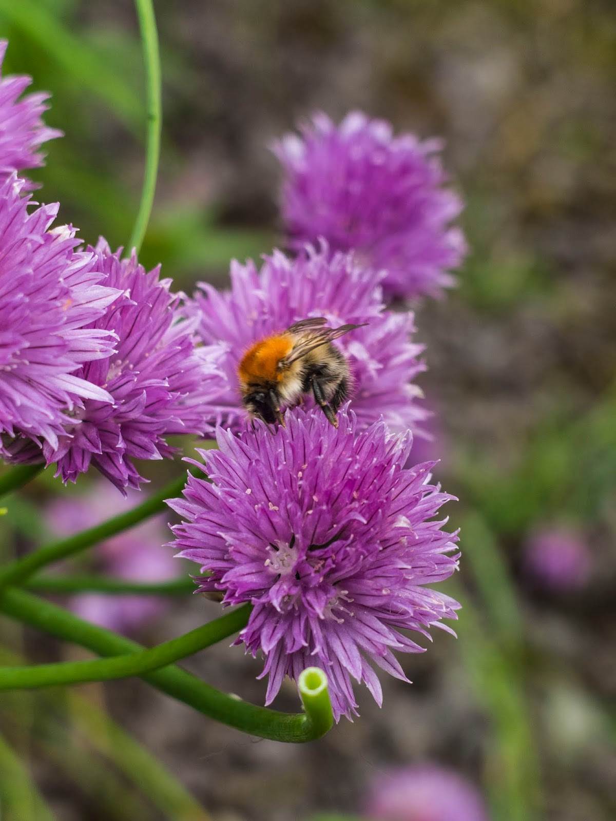 A bumble bee collecting pollen from purple chive flowers.