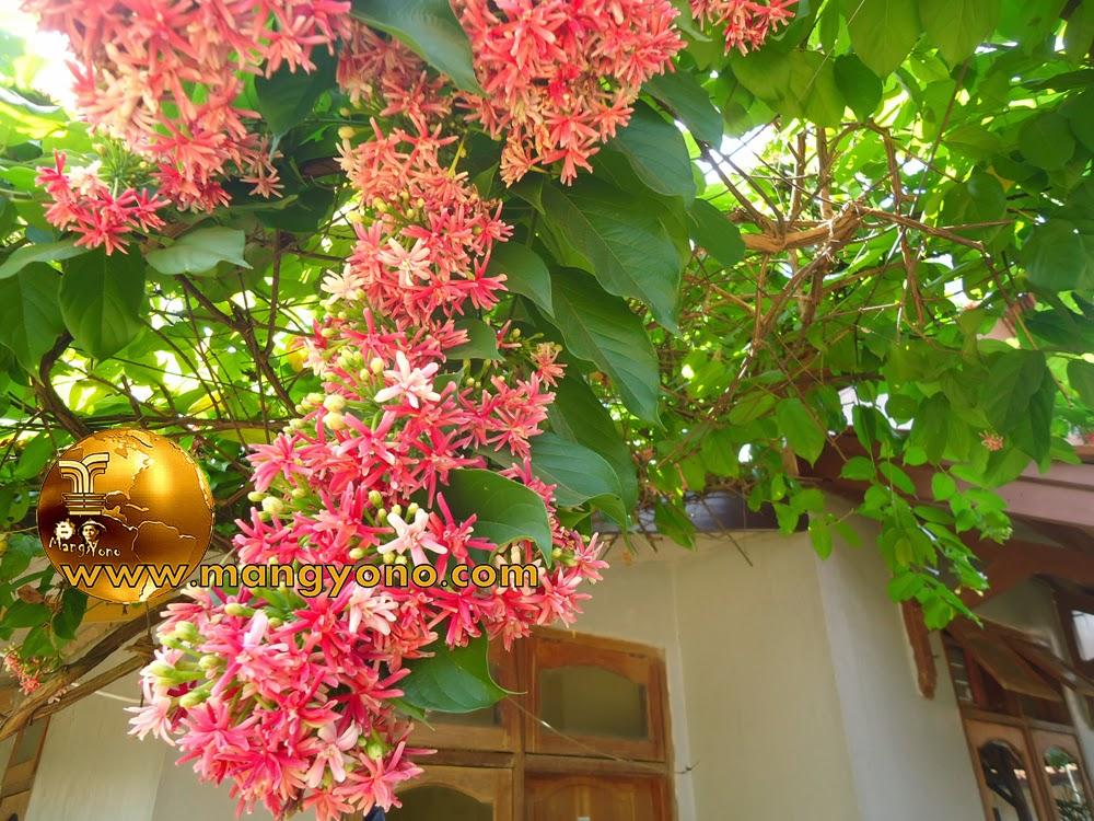 Bunga Melati Belanda Sebagai Peneduh Pergola Dan Torn Air