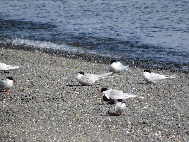Terns spotted on a walk on the Seltjarnarnes Peninsula in Reykjavik Iceland