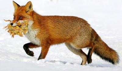 Foto de un zorro con su presa en la boca