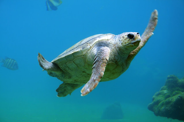 Turtle Diving Underwater Animals-Sea Life
