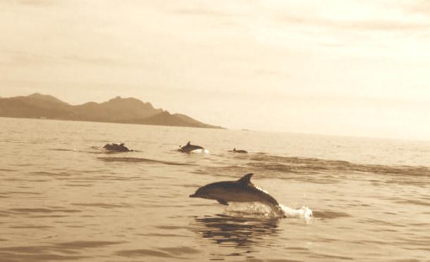 Dauphins au large de Sète