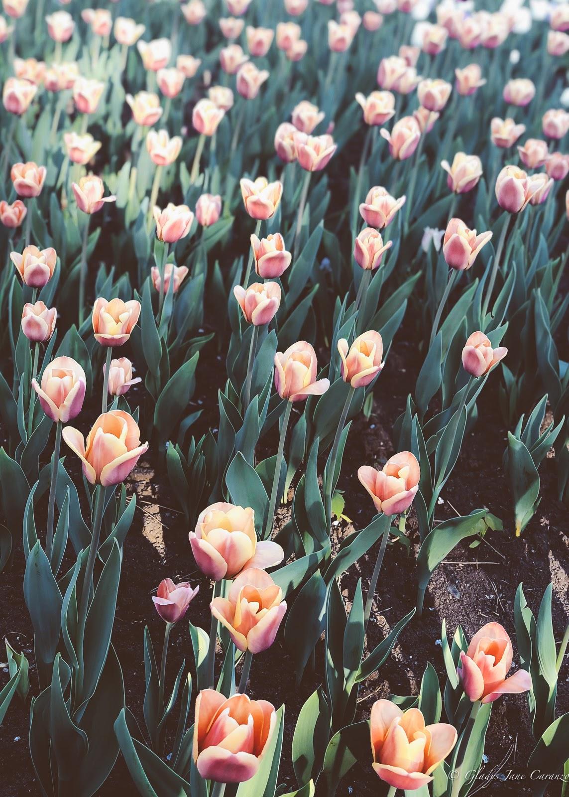 Tulip Festival: Things to Do in Ottawa, Ontario, Canada