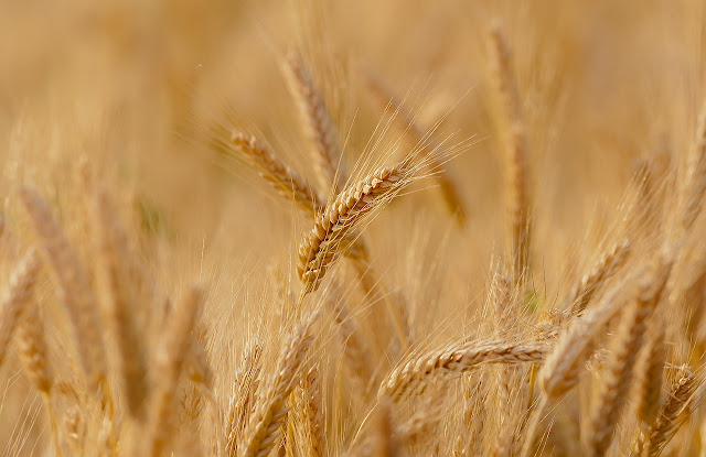 Registration begins for government procurement of wheat