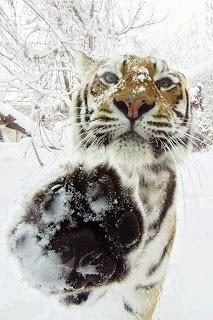 Tigre mano