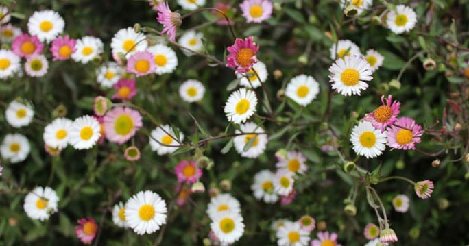 Taman Bunga Daisy Dieng