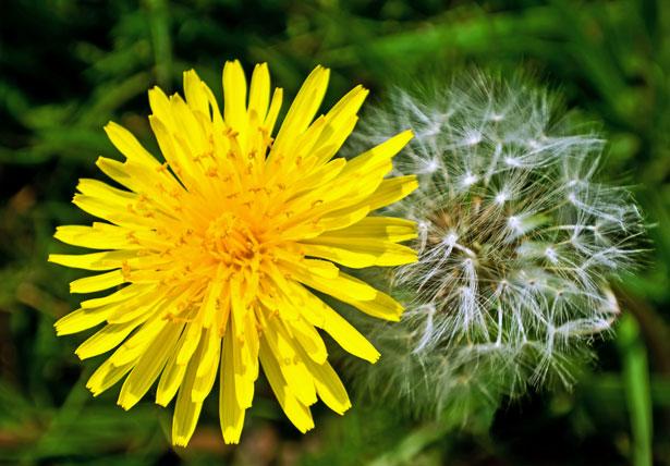 dandelions-.jpg
