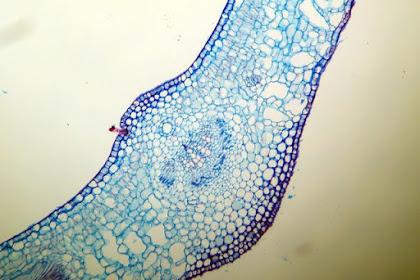 Bagian-Bagian Anatomi Daun dan Fungsinya