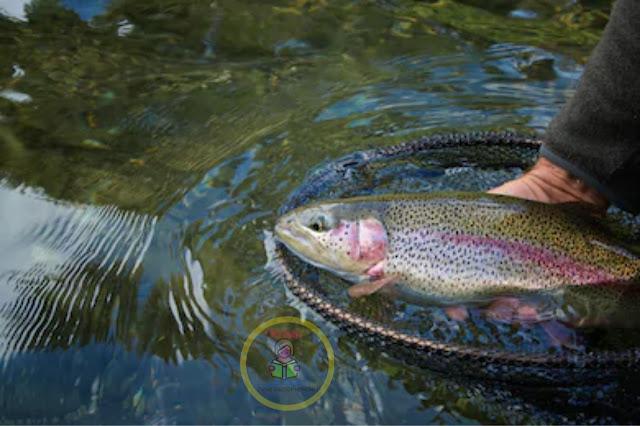 Nepalma Rainbow Trout Fish Palan - Krishi Loksewa
