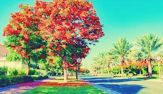 medicinal benefits and uses of gulmohar tree