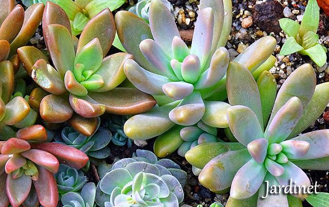 Novidades no vaso de suculentas + Dicas de cultivo
