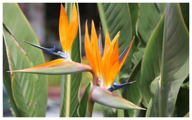 Strelitzia - Πουλί του Παραδείσου