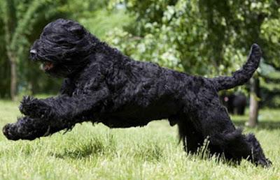 Sobaka Stalina, Terrier Gigante, Terrier Negro