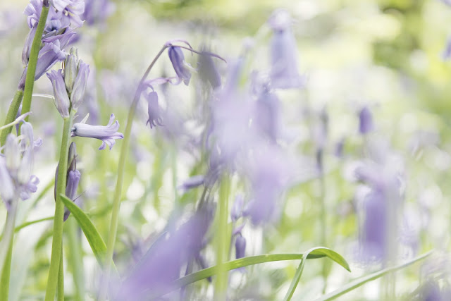 Where to find bluebells, the best places for bluebells in the UK